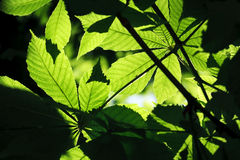 Backgrounds green leaves Royalty Free Stock Images