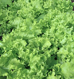 Backgrounds of of growing a vegetable lettuce Royalty Free Stock Photo