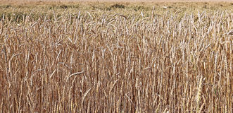 Backgrounds of mature wheat ears Stock Images