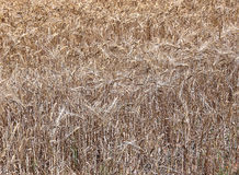 Backgrounds of mature wheat ears Stock Photos