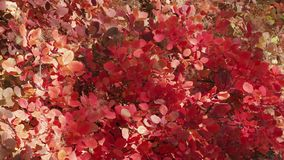 Shrub with red and golden leaves in sunlight. Backgrounds from red leaves in sunlight stock video footage