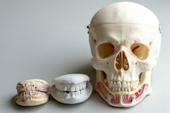 Tooth model for education in laboratory. royalty free stock photography