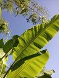 backgroung лист и неба банана Стоковое Изображение RF