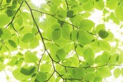 Backgroung av sidor om den soliga dagen i våren och sommar, ekologi c arkivfoto