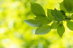 Backgroung av sidor om den soliga dagen i våren och sommar, ekologi c royaltyfria bilder