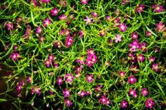 Backgroung Bush del fiore rosa e rosso del Gypsophila, babysbreath Fotografia Stock Libera da Diritti