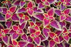 backgroung coleus φυτό στοκ εικόνα με δικαίωμα ελεύθερης χρήσης