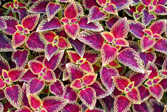 Backgroung coleus plant. Closeup of red leaves a coleus plant Royalty Free Stock Image