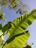 backgroung de feuille et de ciel de banane Image libre de droits