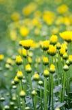 Backgroung do borrão da flor amarela Fotos de Stock Royalty Free