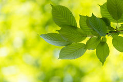 Backgroung of leaves a sunny day in spring and summer, ecology c Royalty Free Stock Images