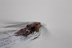 The backgroung with the swimming beaver Royalty Free Stock Images