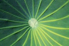 Backgroung verde de la textura de la hoja del loto Foto de archivo