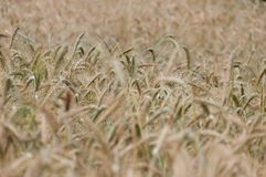 Backgroung from a wheaten field, DOF middle Royalty Free Stock Photo