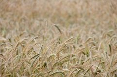 Backgroung from a wheaten field, small focus Stock Photo