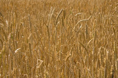 Backgrownd del campo di frumento Fotografia Stock Libera da Diritti