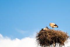 Backgrund del cielo azul con las cigüeñas blancas jovenes en la jerarquía Fotografía de archivo libre de regalías