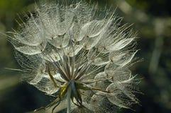 backlight αίγα s λουλουδιών γεν&eps Στοκ εικόνες με δικαίωμα ελεύθερης χρήσης