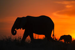 Backlight of african elephant stock images