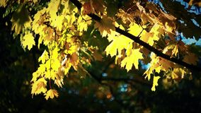 Backlight autumn maple. Swaying in the wind stock video