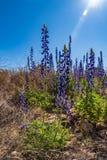Backlight błękitna czapeczka kwitnie w miday słońcu obraz stock