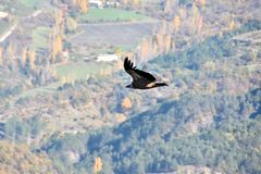 Backlight of a bearded vulture, flying freely, wings wide open. With mountains, fields, meadows, trees and woods in the background. In Drome Provencale, France Stock Images