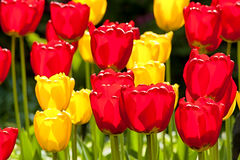 Backlight Bed of Tulips Stock Photos