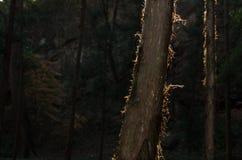 Backlight in boomstam Stock Afbeeldingen
