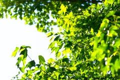 Backlight gröna platan sidor på framdel av blå himmel Royaltyfria Bilder