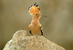 Backlight of a hoopoe Stock Photography