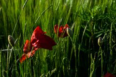 Poppies and wheat on a sunny afternoon stock image