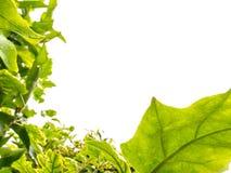 Backlight leaf frame Royalty Free Stock Images