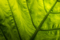 Backlight Leaves Royalty Free Stock Photos