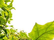 Backlight liścia rama Obrazy Royalty Free
