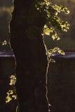 Backlight and rain on a tree, Jura France Stock Photography
