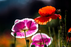 Backlight shoot of flowers and bee Royalty Free Stock Photo