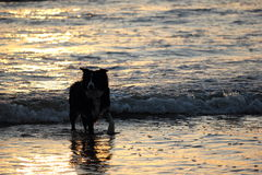 Backlight silhouette of dog walking on a foreshore. Royalty Free Stock Photos