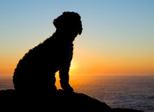 Backlight of a spaniel Royalty Free Stock Images