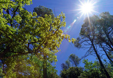 Backlight of the sun through oak leaves Stock Photos