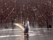 Backlight under the white geese Royalty Free Stock Photography