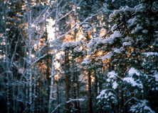 Backlight winter forest. South Urals. Russia Royalty Free Stock Photography
