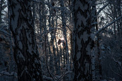 Backlight winter forest. South Urals. Russia Stock Photography