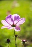 Backlight, Zinnia Royalty Free Stock Photo