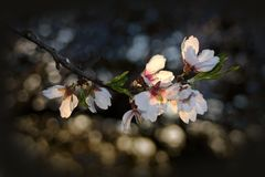 Backlighted blooming apple tree white flowers. Blooming white apple tree flowers in spring against blurred dark background Stock Photography