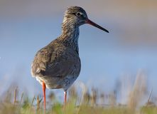 Adult Common Redshank posing near a water bank stock image