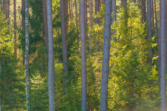 Backlighted spruce in pine forest Stock Photo