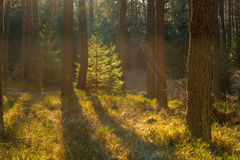 Backlighted spruce in pine forest Stock Images