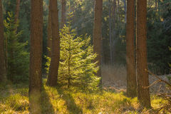 Backlighted spruce in pine forest Stock Image