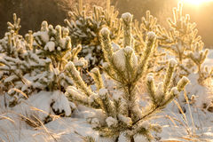 Backlighted by sunrays young fir-tree in snow Royalty Free Stock Photography