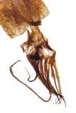 backlighted torr tioarmad bläckfisk Arkivfoton